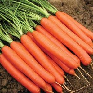 Морковь Красный великан столовая
