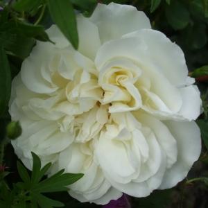Роза Уайт Мейдиланд штамбовая