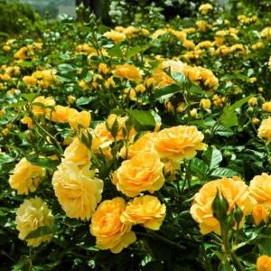 Роза Абсолютли Фабулос
