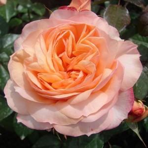 Роза штамбовая Сурир дю Хавр