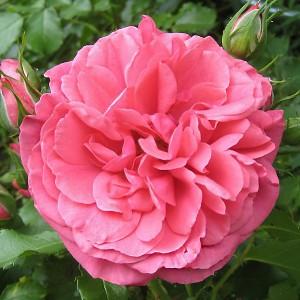 Роза штамбовая Розариум Ютерсен