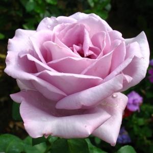 Роза Майнзер Фастнахт