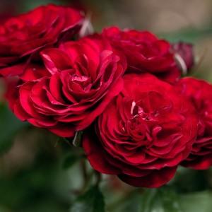 Роза штамбовая Лаваглут