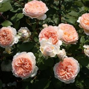 Роза Матиас Клаудиус