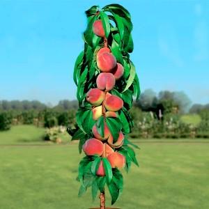 Персик Золотой Триумф (колоновидный)