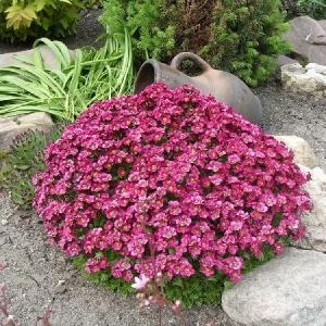 Арабис альпийский крупноцветковый розовый