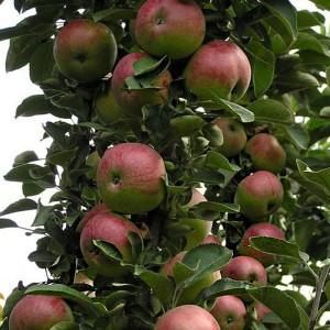Яблоня Арбат (колоновидная)