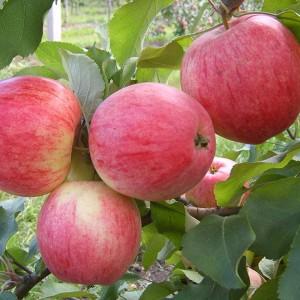 Яблоня летняя Розовый Налив