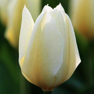 Тюльпан Пуриссима