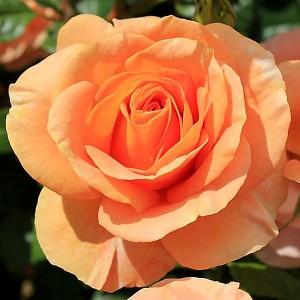 Роза Бенгали KORDES