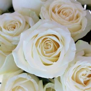 Роза Тибет