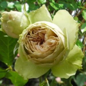 Роза Лавли Грин