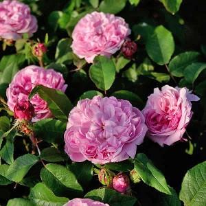 Роза Жак Картье штамбовая