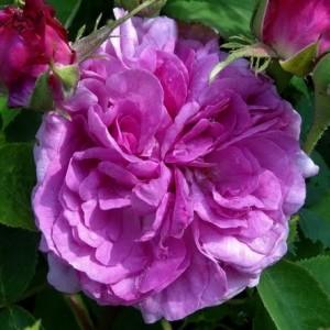 Роза Рейн де Виолетт