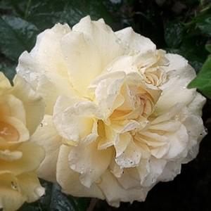 Роза Мисс Файн