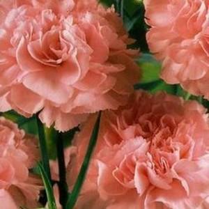 Гвоздика садовая гренадин Роза (серия Розовые сны)