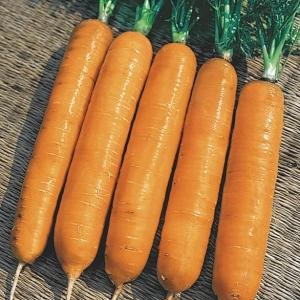 Морковь Самсон столовая