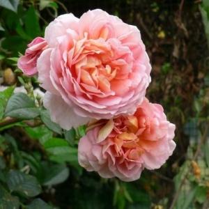 Роза Папи Делбард