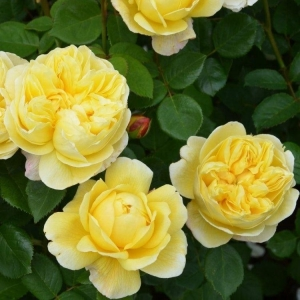 Роза Зонненширм штамбовая