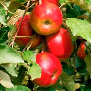 Яблоня Останкино (узкопирамидальная)