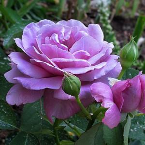 Роза Шарль де Голль
