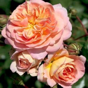 Роза Концерто 94 штамбовая