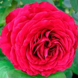 Роза Роуз де Кятр Ван штамбовая