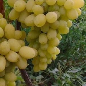 Виноград Лилла