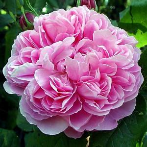 Роза штамбовая Жак Картье