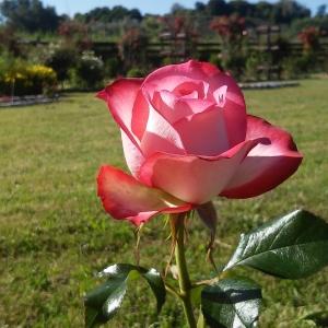Роза Изабелль Обрие штамбовая
