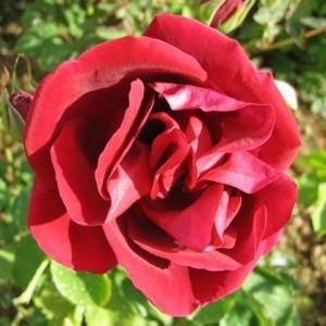 Роза Аделаида Худлесс штамбовая
