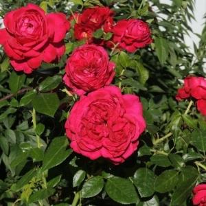 Роза Репаблик де Монмартр