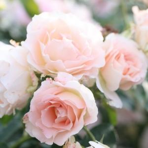 Роза Рококо штамбовая