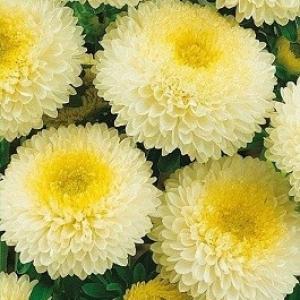 Астра Хелльгельб светло - желтая, помпонная