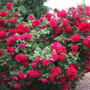 Роза Хансаленд