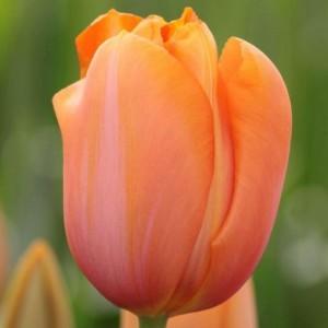 Тюльпан Дордоне
