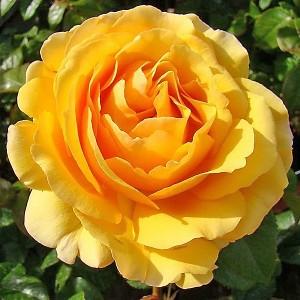 Роза штамбовая Амбер Квин