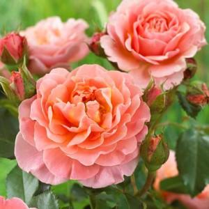 Роза штамбовая Мария Кюри