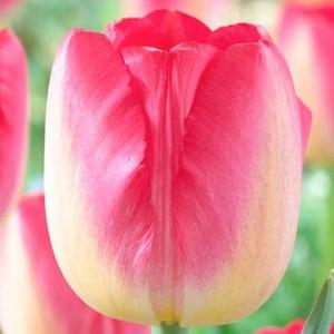 Тюльпан Юдит Лейстер