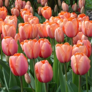 Тюльпан Априкона