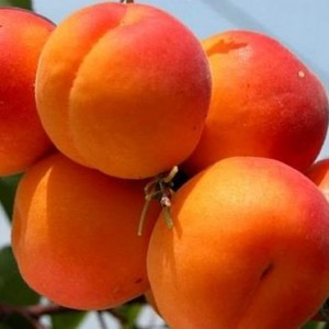 Персик Юбилей Столицы (узкопирамидальный)