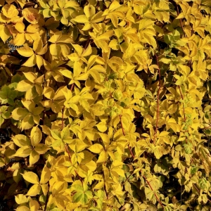 Девичий виноград пятилисточковый Йеллоу Уолл