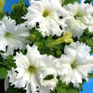 Петуния Афродита белая F1 (Фриллитуния)