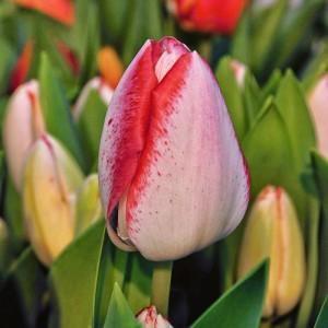 Тюльпан Плейгел
