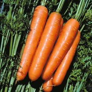 Морковь Рогнеда