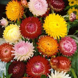 Гелихризум прицв Крупноцветковый