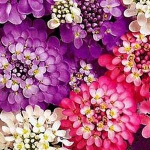 Иберис Самоцветы (серия Альпийская горка)