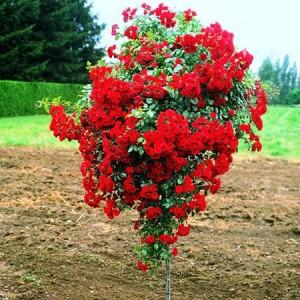 Роза штамбовая Аделаида Худлесс