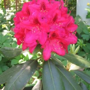 Rhododendron Nova Zembla Plant Care And Cultivation