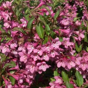 Вейгела цветущая Рубидол